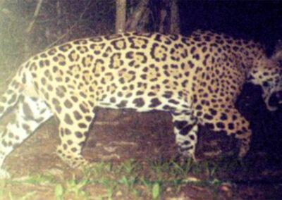 Censo de Jaguares (Panthera onca)